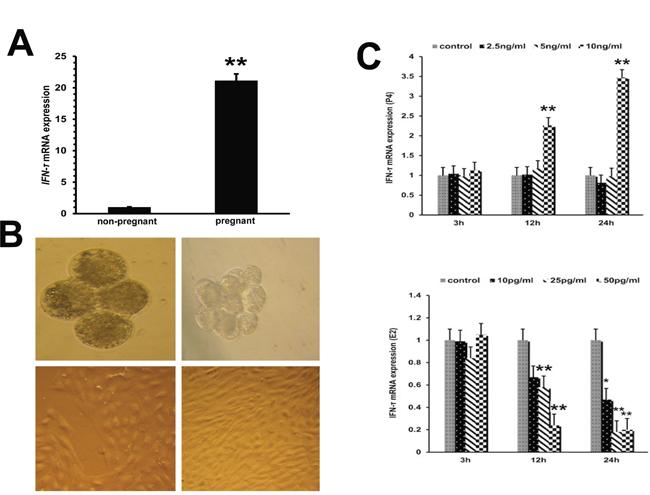 IFN-τ gene expression in embryo trophoblastic cells.