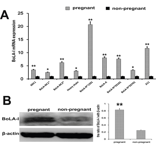 BoLA-I expression in endometrial tissues.