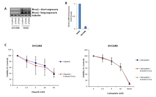 FIGURE 5: 17-AAG does not sensitize HR-deficient cells to olaparib or carboplatin.