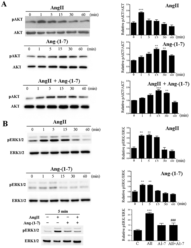Ang-(1-7) prevents AngII-induced AKT and ERK1/2 phosphorylation in the non-tumorigenic mammary cell line NMuMG.