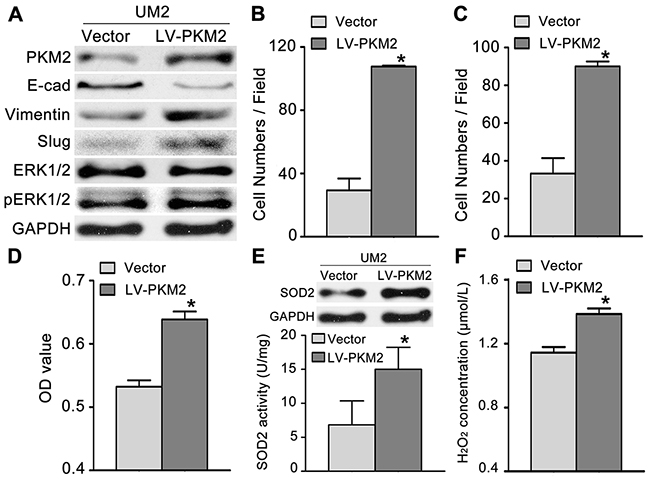 PKM2 overexpression promotes TSCC cell migration and invasion.