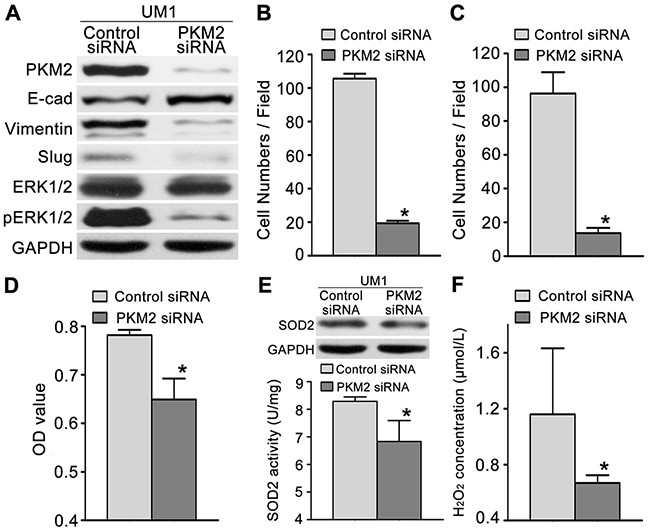 PKM2 knockdown inhibits TSCC cell migration and invasion.