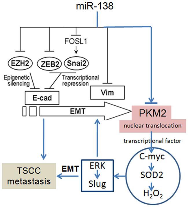 PKM2 regulates TSCC cell migration/invasion through miR-138 and the SOD2-H2O2 pathway.
