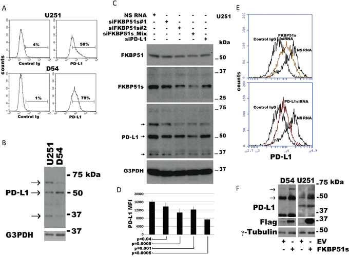 Modulation of PD-L1 expression in glioblastoma cells.