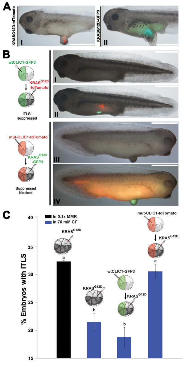 Hyperpolarization by the influx of Cl- through CLIC1 mediates long-range ITLS suppression.