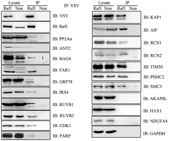 Western blotting confirmed the interaction of 12 proteins with Raf1.