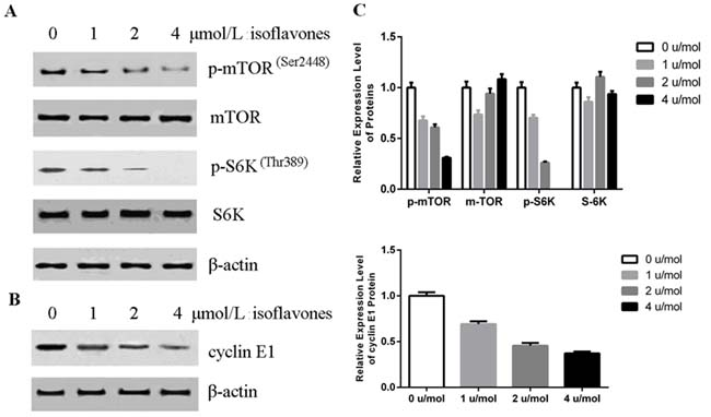 Isoflavones decreased phosphorylation of mTOR and cyclin E1 accumulation.