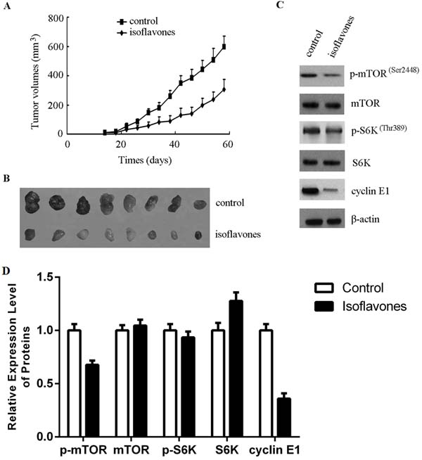 Isoflavones inhibited human retinoblastoma cell growth in a xenograft mouse model by decreasing the phosphorylation of mTOR and cyclin E1 accumulation