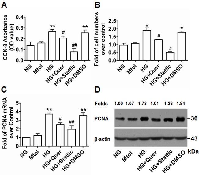Quercetagetin and stattic attenuate HG-induced VSMC proliferation