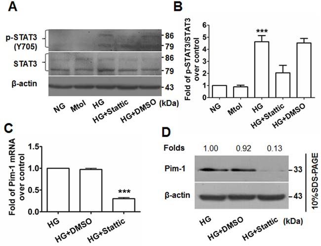Stattic blocks STAT3 activation and results in attenuated Pim-1 expression in HG-treated VSMCs.