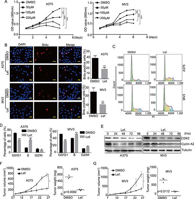 DHODH inhibitor leflunomide inhibits cell proliferation and induces cell cycle arrest at S phase in melanoma cells.