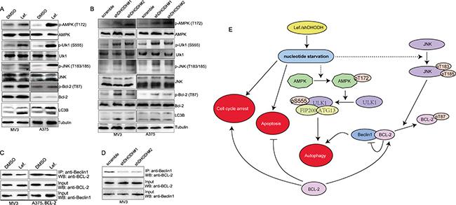 DHODH inhibition induces autophagy via AMPK-Ulk axis and BCL-2 phosphorylation.