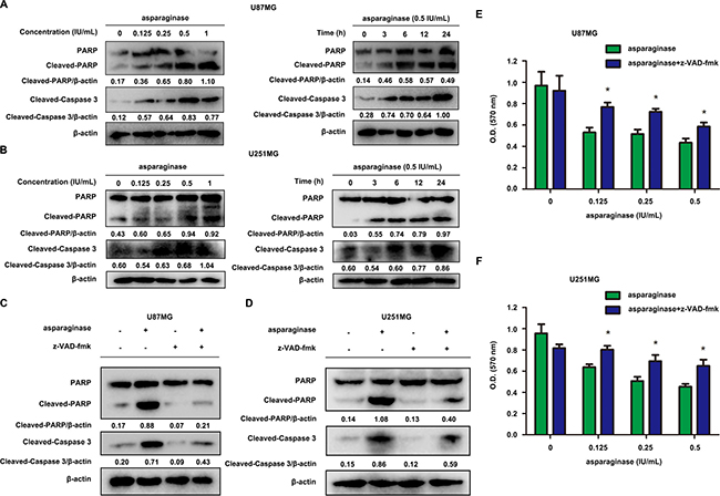 Asparaginase-induced apoptosis was related to caspase 3 activation in GBM cells.