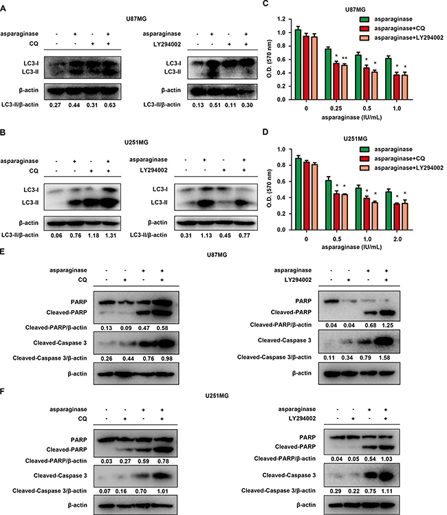 Abolishing autophagy potentiated asparaginase-induced growth inhibition and apoptosis of GBM cells in vitro.