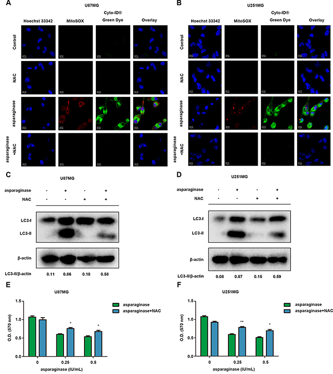 ROS was involved in autophagy by asparaginase in GBM cells.