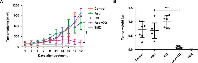 Suppression of autophagy potentiated the anti-tumor effect of asparagine depletion in vivo.