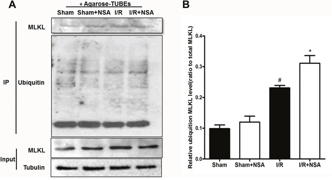NSA treatment promoted degradation of MLKL via the ubiquitination proteasome pathway.