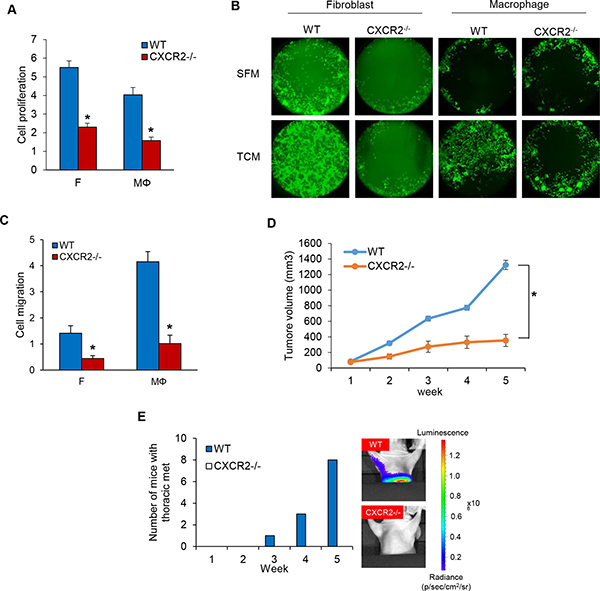 Knockout of CXCR2 using CRISPR-Cas9 system inhibits cell proliferation and migration in MDA-MB-231 cells.
