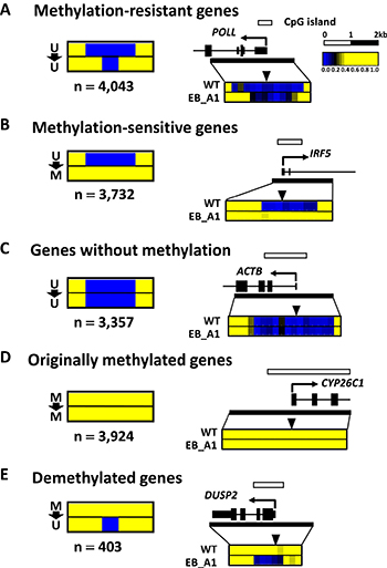 Patterns of DNA methylation acquisition during EBV infection.