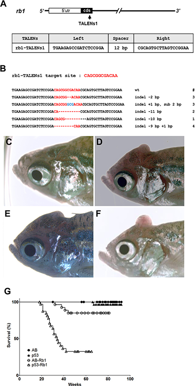 Somatic inactivation of rb1 by the injection of rb1-TALENs mRNA leads to medulloblastoma like PNETs in F0 founder zebrafish.