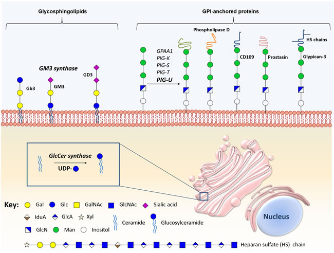 Schematic representation of the main biologically relevant glycosphingolipids and glycosylphosphatidylinositol-anchored proteins in bladder cancer.