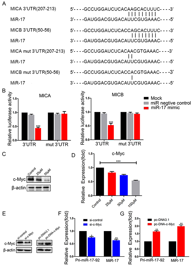 MiR-17 binds to the 3′-UTRs of MICA and MICB, and c-Myc promotes the expression of miR-17.