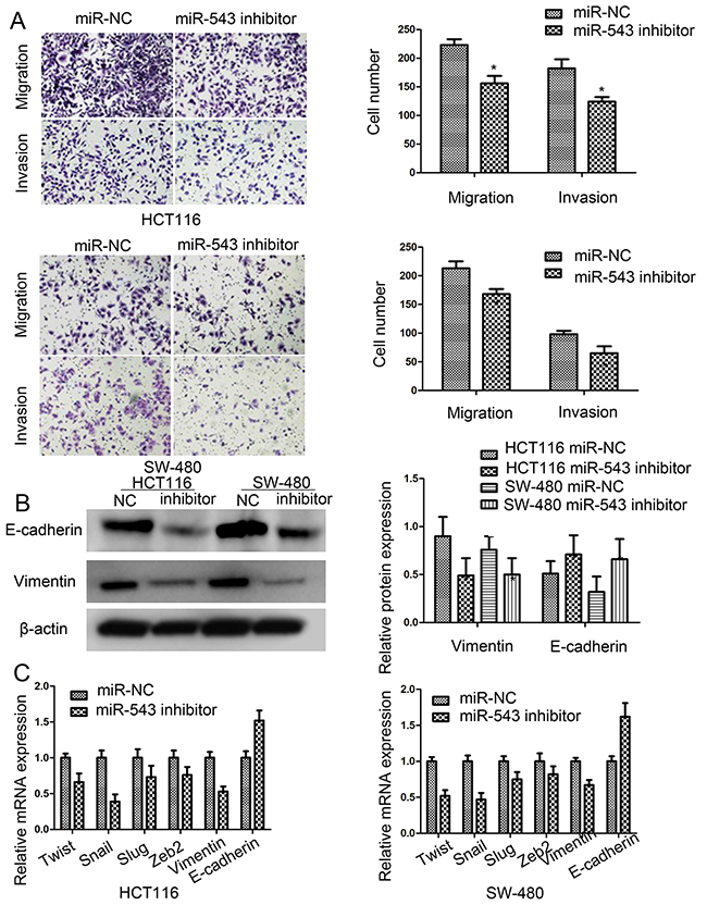 miR-543 promotes cell migration, invasion and mesenchymal-epithelial transformation (EMT) of CRC cells.