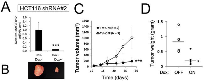 Knockdown of MAGE-A12 diminishes cancer cell growth in vivo.