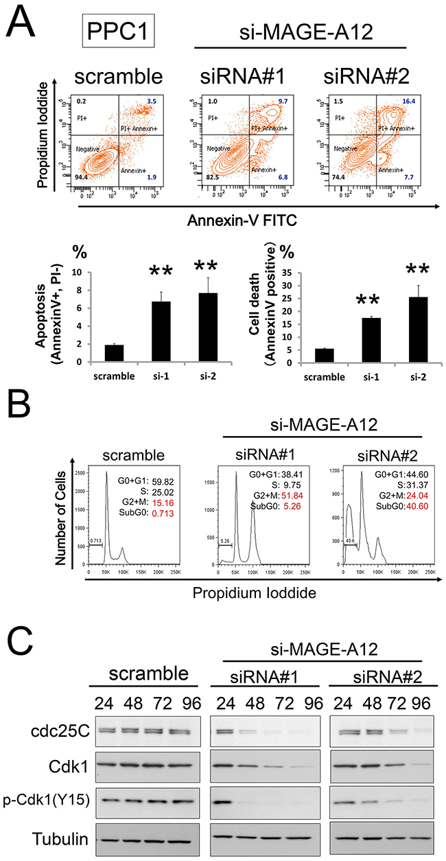 MAGEA12 regulates the cell cycle and apoptosis of cancer cells.