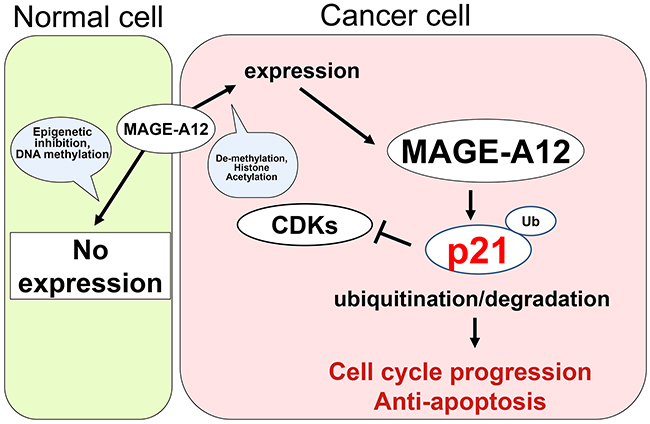Model of the interaction between MAGE-A12 and p21 in cancer cells.