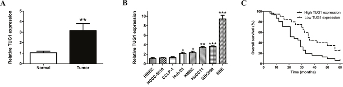TUG1 is upregulated in both CCA tissues and cell lines, and overexpressed TUG1 decreased overall survival in patients with CCA.