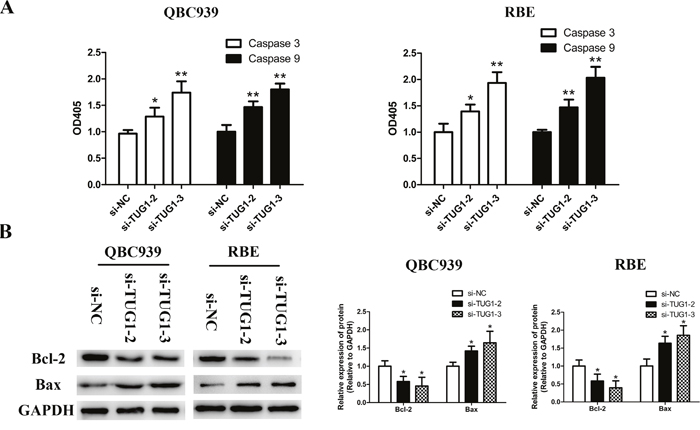 TUG1 depletion facilitated apoptosis by activating caspase-3, -9 and Bax expression, and repressing Bcl-2 expression in CCA cells.