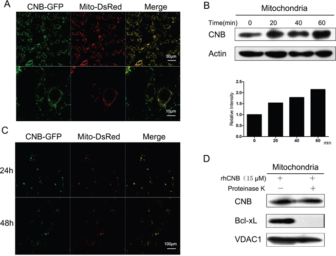 Exogenous CNB becomes localized in mitochondria.