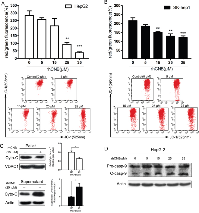 Exogenous CNB damages HepG-2 and Sk-hep-1 mitochondria.