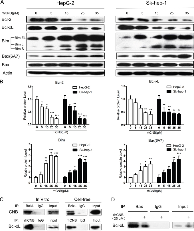 rhCNB alters the expression of Bcl-2 family members and weakens the interaction of Bcl-xL and Bax.