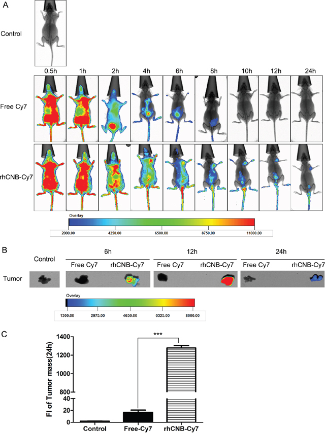 rhCNB localizes to tumors in vivo.