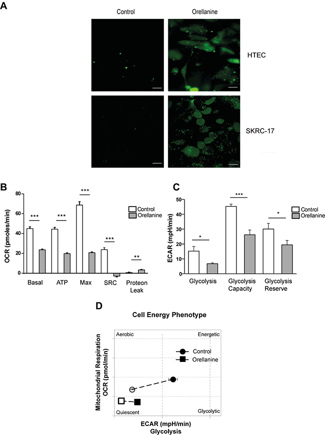 Orellanine induces oxidative stress and down-regulates cell metabolism