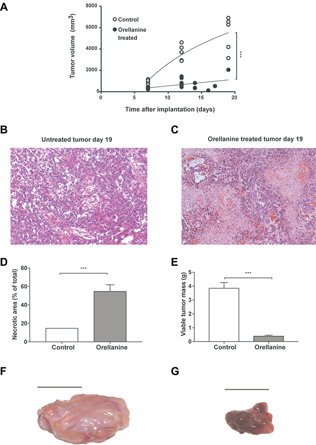 Orellanine significantly reduces tumor growth and induces necrosis.