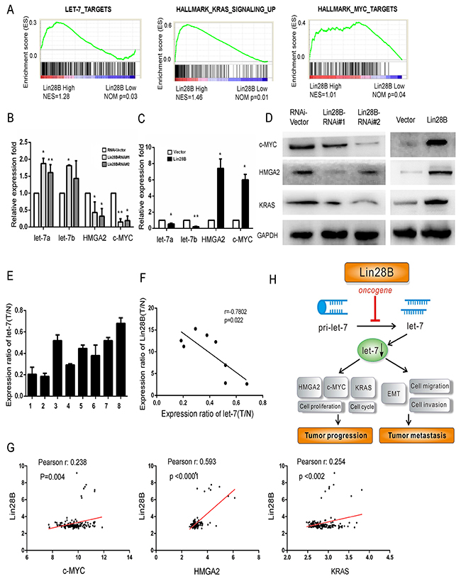 Lin28B overexpression decreases let-7 levels and activates oncogenic pathways.