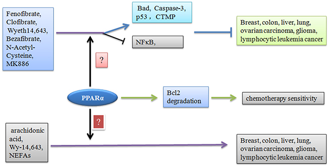 Effect of PPARα ligands on tumor progression.