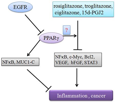 PPARγ negatively regulates tumor progression.