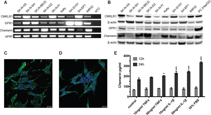 CMKLR1, GPR1 and chemerin are expressed in neuroblastoma cell lines and TNFα, IL-1β, and serum stimulate chemerin secretion.