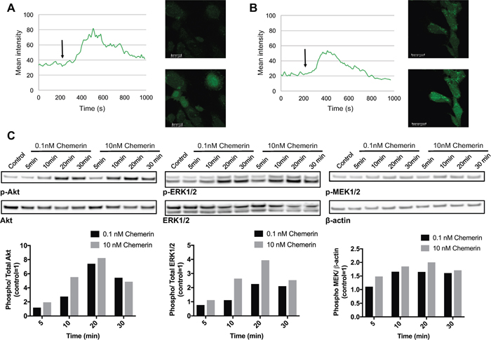 Chemerin induces intracellular calcium mobilization and stimulates MAPK and Akt signaling in neuroblastoma cells.