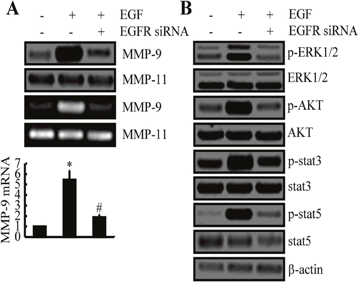 EGF upregulates the expression of MMP-9 and the activities of ERK1/2, AKT, STAT3, and STAT5 pathways via EGFR.
