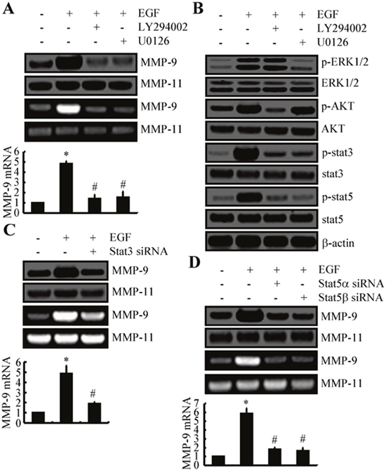 ERK1/2, PI3K/AKT, STAT3, and STAT5 pathways mediate the stimulatory effects of EGF on the expression and activity of MMP-9 in A172 cells.