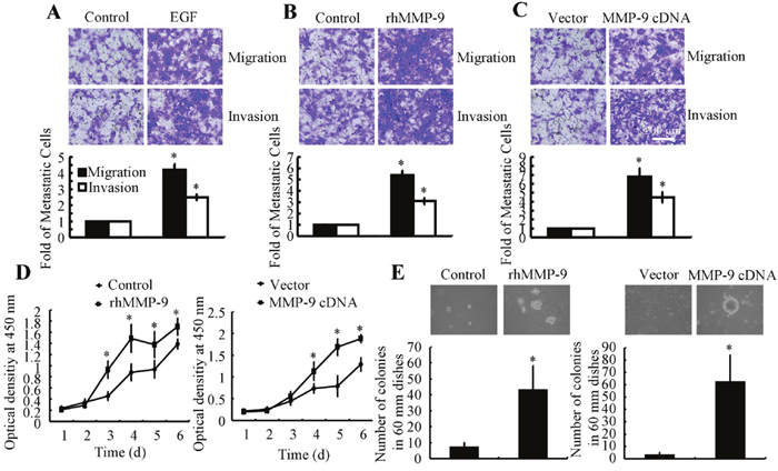 MMP-9 overexpression increases tumor migration, invasion, and abnormal proliferation.