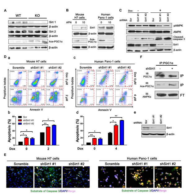 Adiponectin modulates the AMPK-Sirt1-PGC1α axis.