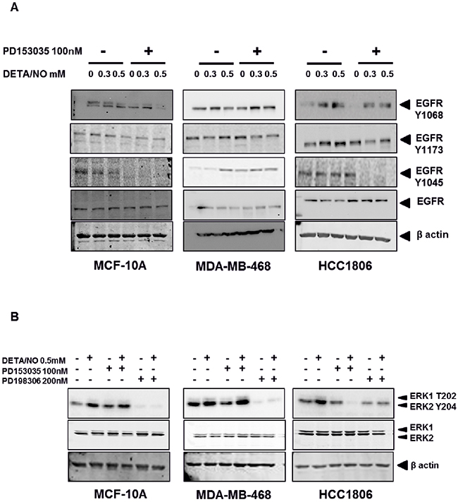NO induces increased EGFR and ERK phosphorylation in TNBC cell lines.