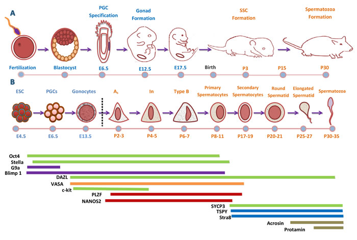 Development Cycle of Male Mouse Germ Cell.