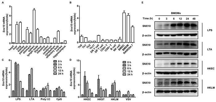 Expression of SNX10 in mouse tissues and cells.